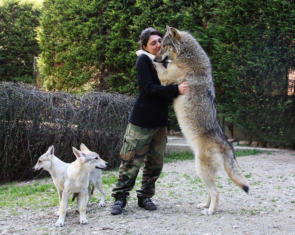 Cryptozoology Informational Blog • Neapolitan Mastiff ...