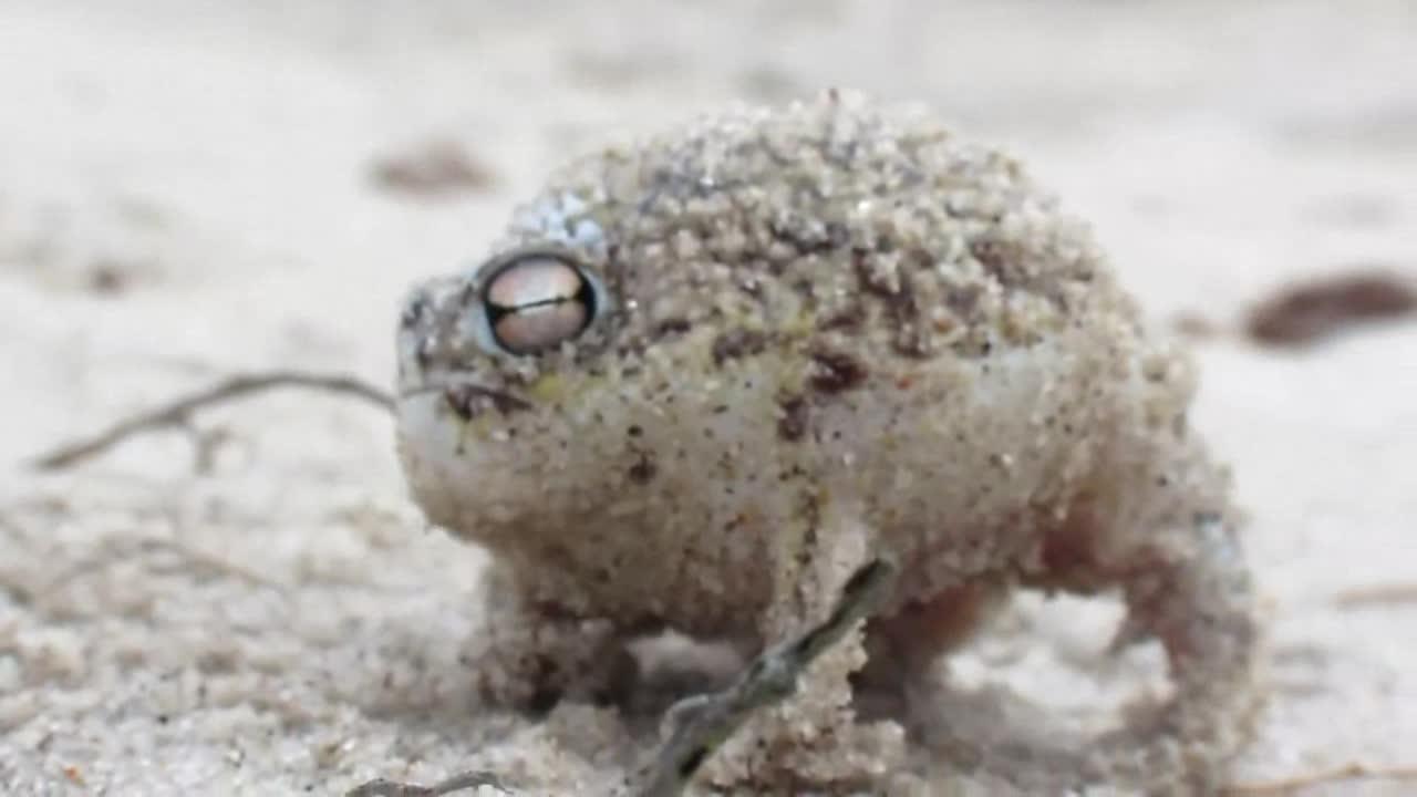 Startled desert rain frog. it's very tiny.