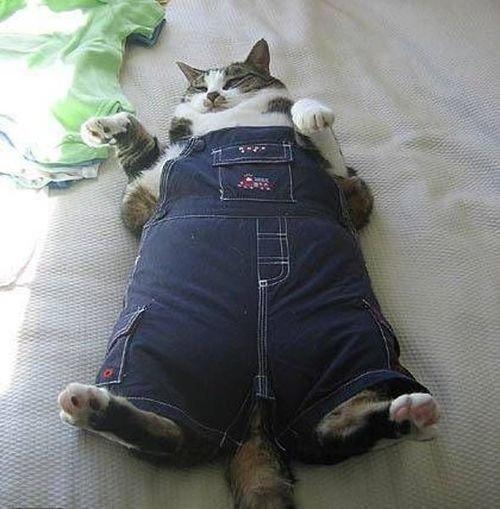 A cat, too Fat to Dress up. A cat, too Fat to Dress up. cat