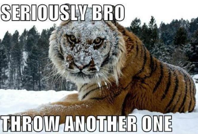 i dare you. not oc. found in folder. tiger Photo