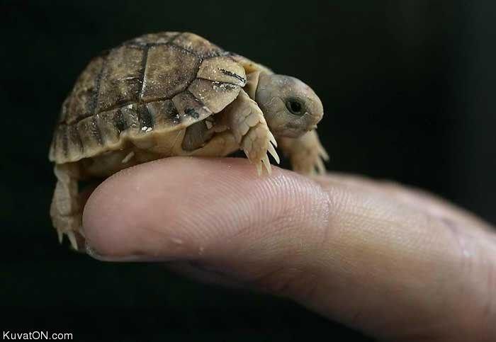Mini turtle. Enjoy!<br /> If you like this go on my page!.. i liek turtlez racismisthekey
