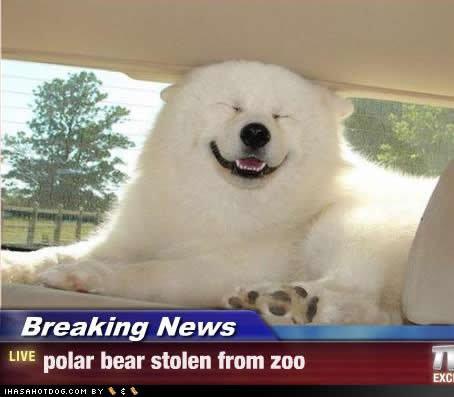 ummm okay. . Breaking Ne Mer LIVE polar bear stolen mum mu H Polar Bears Asian weird funny