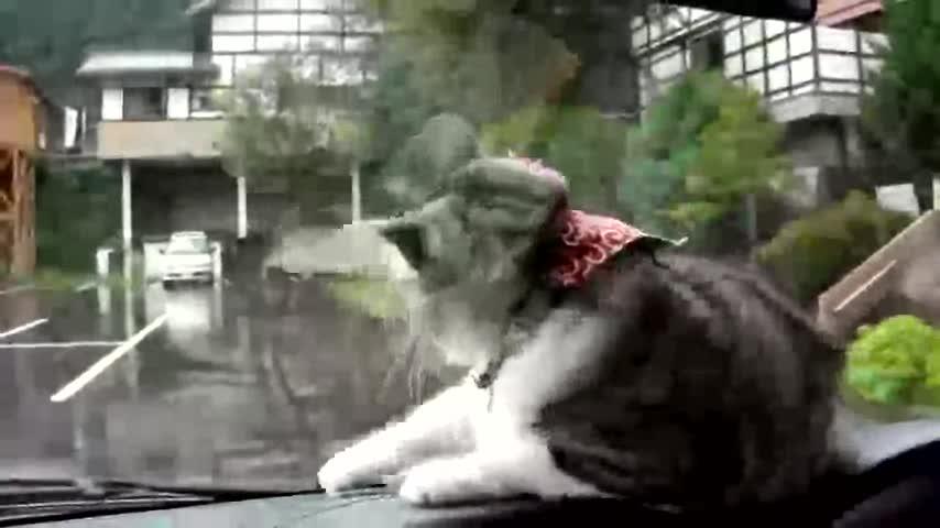 Cat vs Windshield wipers. .