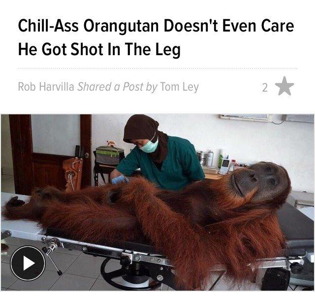ape joex. . Orangutan Doesn' t Even Care He Got Shot In The Leg. skillsoffthecharts.jpg ape joex Orangutan Doesn' t Even Care He Got Shot In The Leg skillsoffthecharts jpg