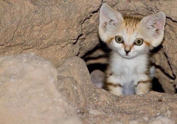 Arabian Sand cat. Cute cat.. cute cat sand