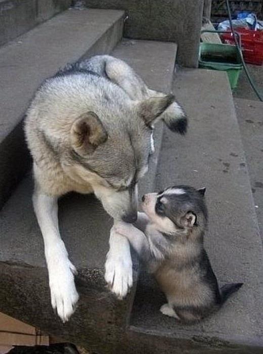 Dad...Dad... Dad listen. .. Huskies :3 Cute as fuck