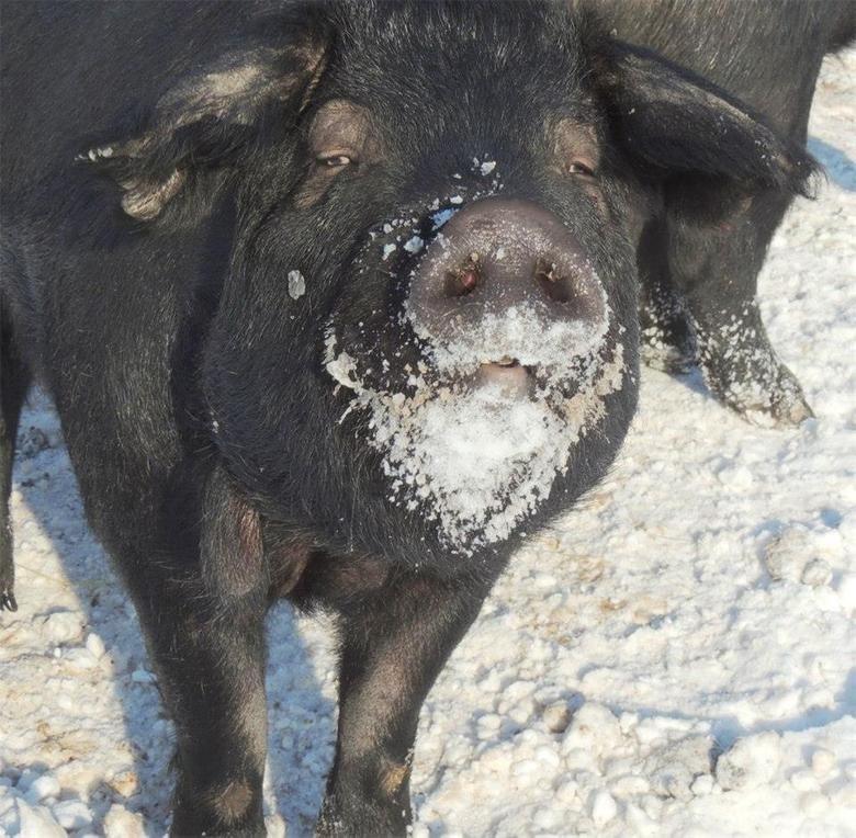 Even pigs like cocaine. . cocaine pigs its
