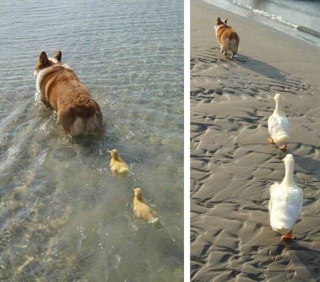 Like a mom. .. CORGIES!!!!!!!!!!!!!!!!!!!!! Like a mom CORGIES!!!!!!!!!!!!!!!!!!!!!