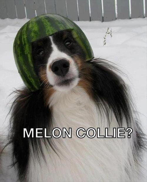 Melon collie?. .. Close, but not cigar. Melon collie? Close but not cigar
