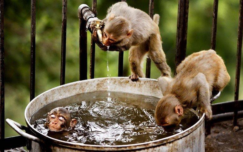 Monkey Hot tub party. see title. wallpaper monkey