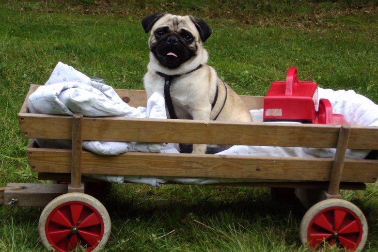 My dog Folmer enjoys a ride in the wagon. . My dog Folmer enjoys a ride in the wagon