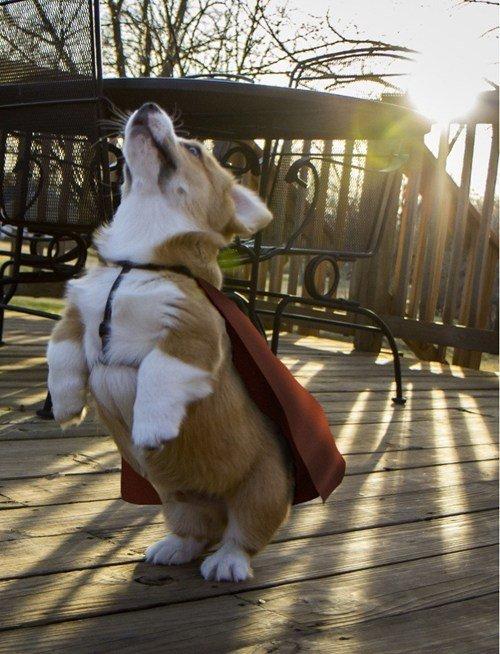 Up, up and away!. It's a bird, it's a plane, it's SUPER CORGI!.. Lawyer Corgi by day Super Corgi by night adorable puppy