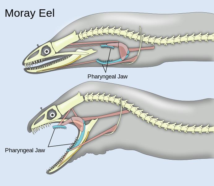 Xenomorph. they exist. Moray Eel Pharyngeal Jaw Xenomorph they exist Moray Eel Pharyngeal Jaw