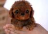Little chewbaca